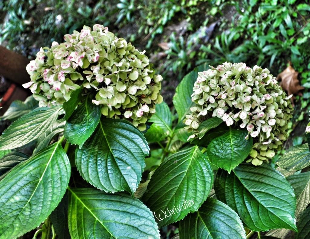 two hydrangea flowers