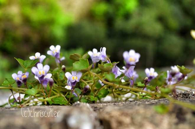 Small purple flowers blooming on stone wall