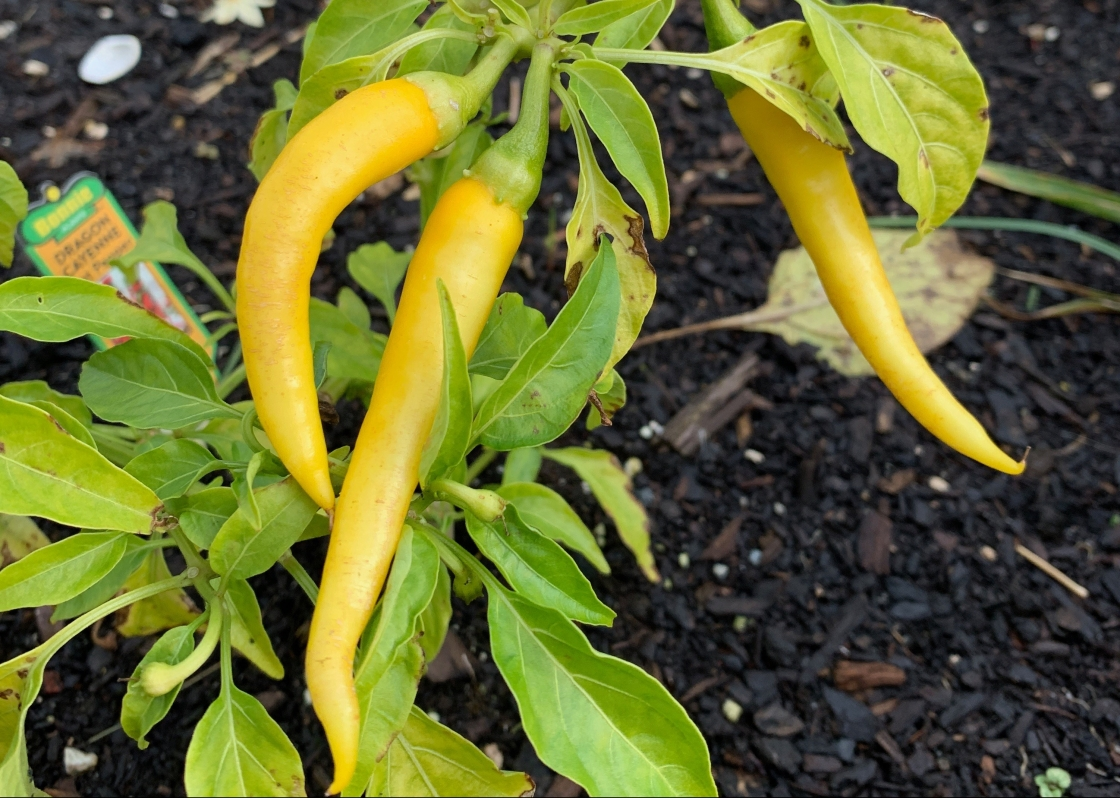 yellow cayenne peppers in garden